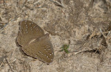 The Guineafowl / Hamanumida daedalus