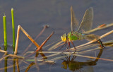 Emperor dragonfly / Grote keizerlibel