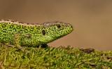 Reptiles / Reptielen