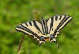 Butterflies / Dagvlinders