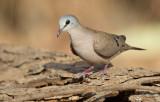 Black-billed wood dove / Zwartsnavelduif