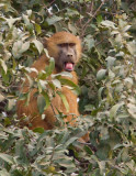 Guinea baboon / Bruine baviaan