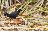 African black crake / Zwart Poseleinhoen