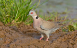 African mourning dove / Treurtortel