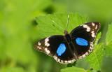 Dark Blue Pansy / Junonia oenone