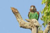 Brown-necked Parrot / Bruinnekpapegaai