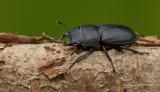 Lesser Stag Beetle / Klein vliegend hert