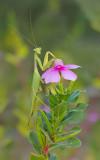 African green manthis / Sphodromantis viridis
