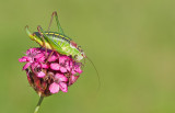 Grasshoppers / Sprinkhanen