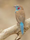 Red-cheeked Cordon-bleu / Blauwfazantje
