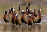 White-faced whistling duck / Witwangfluiteend