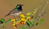Variable Sunbird / Ornaathoningzuiger