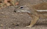 Striped Ground Squirrel / Afrikaanse grondeekhoorn