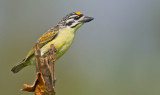 Yellow-fronted tinkerbird / Geelvoorhoofdketellapper
