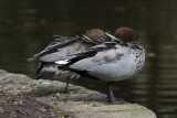 Maned Duck (aka Australian Wood Duck)