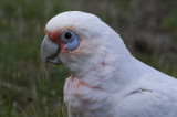 Long-billed Corella
