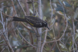 New Holland Honeyeater