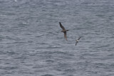 Wedge-tailed and Fluttering Shearwater
