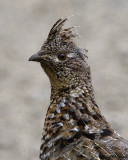 upland_game_birds