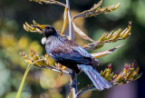 The Tui Feeds on Flax