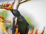 Tui Feeds on Flax