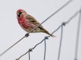 Male Redpoll