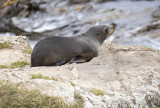 10 Dec 2013 - Fur seal - Moeraki coastline