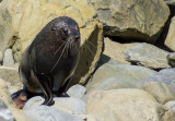 7 December 2013 - Fur Seal - Kaikoura Coastline