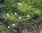 Royal Spoonbill nesting area