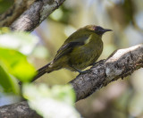 Bellbird - male