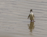 yellow eyed penguin returns from the sea