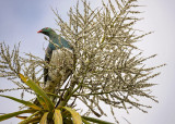 Wood Pigeon Feeds on Cabbage Tree Fruit
