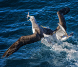 2 Albatrosses battle over food