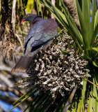Wood Pigeon in a Cabbage Tree