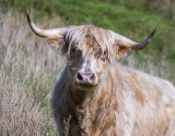 Highland Cattle - looks fierce but regarded as docile unless calves are present