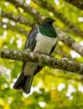 22 April 2015 - Wood Pigeon