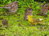 Male Yellowhammer among the sparrows in the back yard