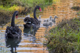Black Swans and Chicks