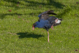 The Pukeko balances on one leg while raising one wing