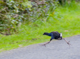 Why did the Pukeko cross the road