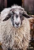 SHEEP_1531.jpg
