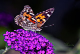 PAINTED LADY BUTTERFLY_0769.jpg