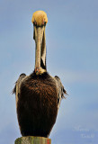 BROWN PELICAN_6619.jpg