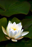 WHITE WATERLILY_4662.jpg