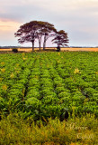 CABBAGE FIELD AT SUNSET_8373.jpg