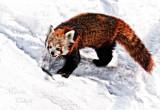 RED PANDA_1507.jpg