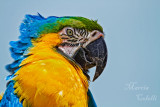 BLUE AND GOLD MACAW_6653.jpg