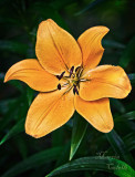 ASIATIC LILY_0240.jpg