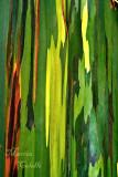 EUCALYPTUS TREE_9189.jpg