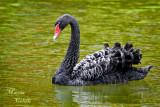 BLACK SWAN_7430.jpg